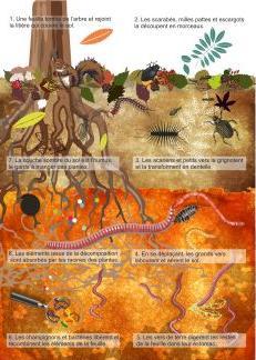 coupe du sol - le cycle de la matière vivante